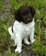 Small Munsterlander Pointer Puppy