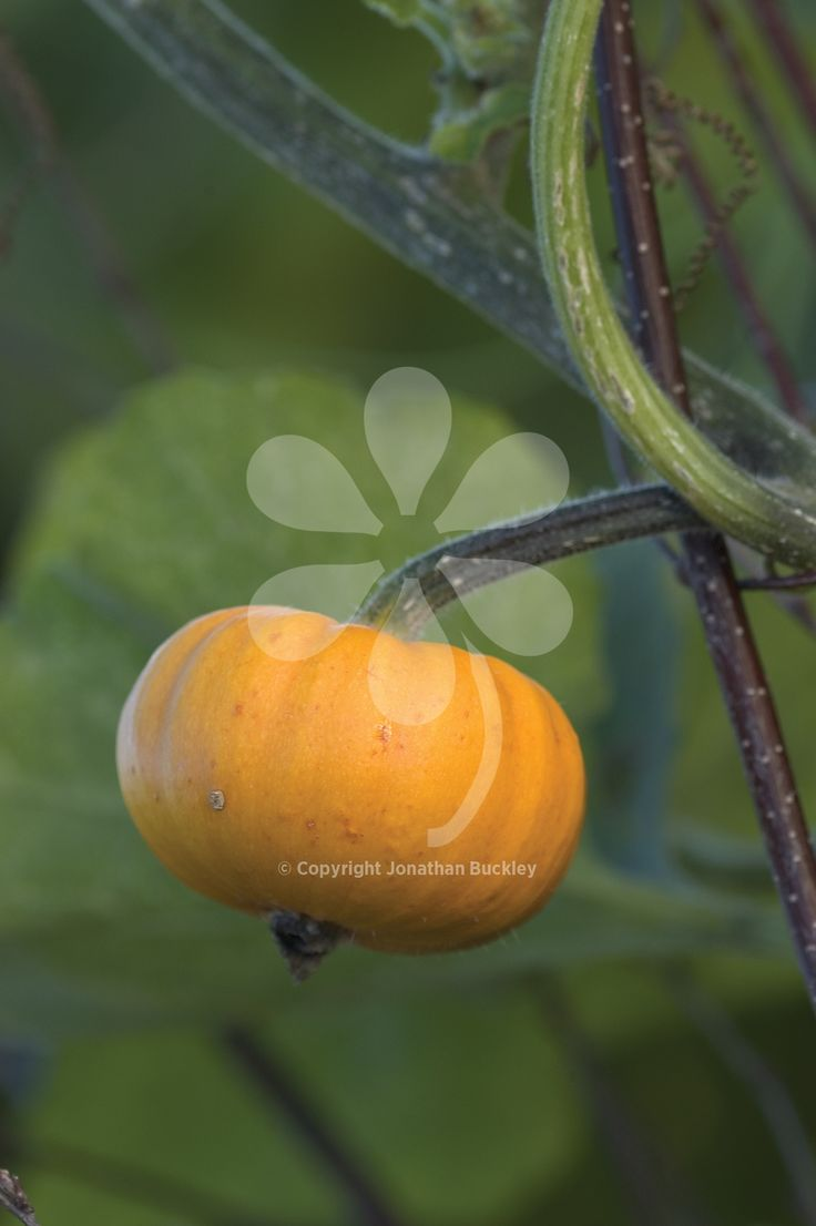 Pumpkin 'Munchkin' is a lovely mini pumpkin which is easy to grow. It is also a beautiful and ornamental climber growing up and over arches and frames.