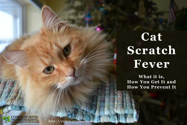 Cat scratch fever can be a very serious condition, causing scarring and even blindness. In this post we'll discuss how your cat can carry the disease (and may not show symptoms), how you can catch it, symptoms of catch scratch disease, complications, treatment and why you don't want to let kitty lick your face.