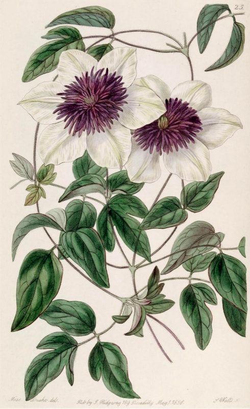 Clématites : Planter, tailler et entretenir / Blog Promesse de fleurs
