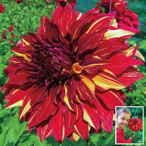Red Yellow Dahlia Giant Dinnerplate Bohemian Spartacus Spectacular Bonsai Flower