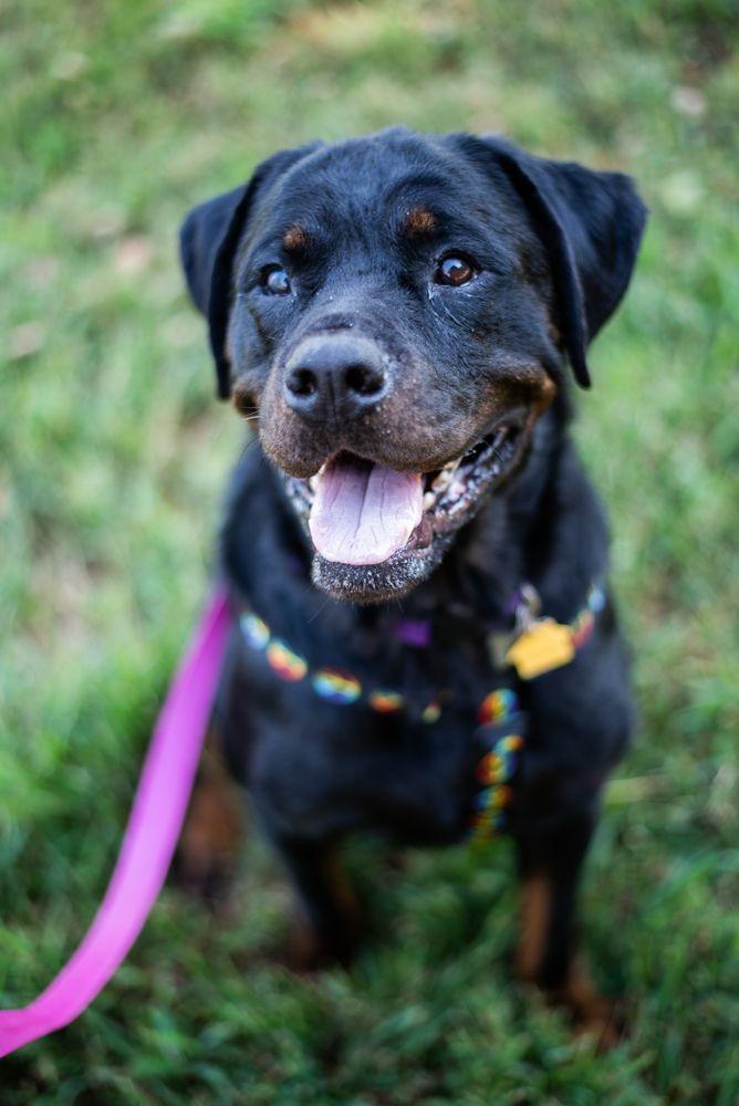 Adopt Elle Woods On Rottweiler Dog Dogs Elle Woods