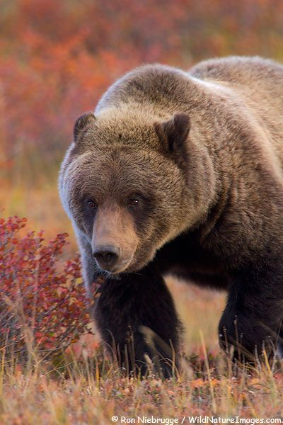 ☀DENALI GRIZZLY BEAR PHOTO  Grizzly Bear, Denali National Park, Alaska, by Ron Niebrugge