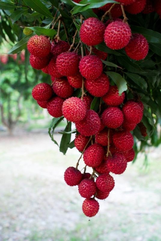 Lychee Thai Fruit Sweet, Litchi chinensis
