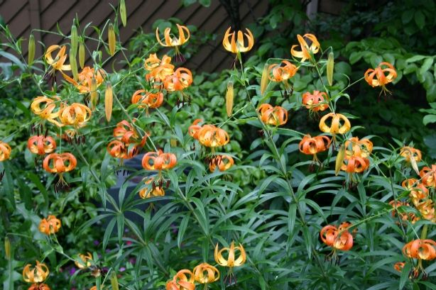 Tiger Lily summer-flowering bulb plants, (unlike daffodils, tulips, etc., which are spring-flowering) part shade to full sun.  Plant in Spring.