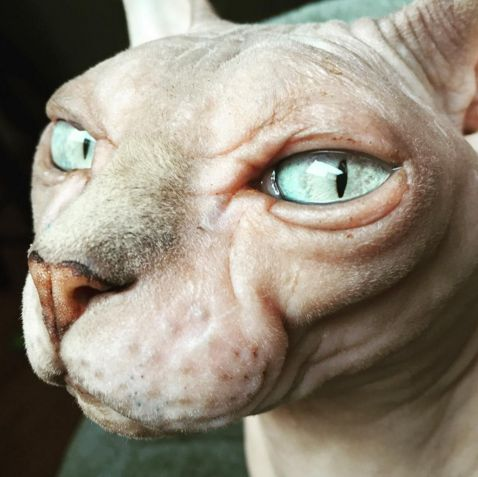 Jorja the sphynx cat is pretty fabulous. This beauty was rescued after a breeder no longer wanted to breed her. Now she's enjoying retirement with her new mom.