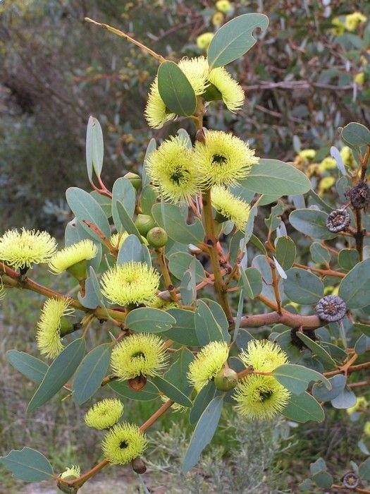 Bell-fruited Mallee (Eucalyptus preissiana)