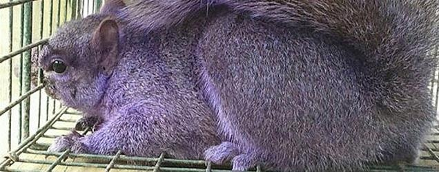 Oh no, the purple squirrel from Jersey Shore, PA isn't photoshopped at all.