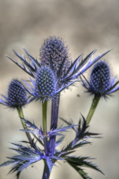 Sea holly plants are tolerant of drought, winds, salt sprays and sandy soils. They can be used as specimen plantings, in beds and borders, or butterfly gardens. In addition, these plants make excellent dried flowers.  Read more at Gardening Know How: Sea Holly Plant Care: How To Grow A Sea Holly Plant http://www.gardeningknowhow.com/ornamental/flowers/sea-holly/sea-holly-flowers.htm