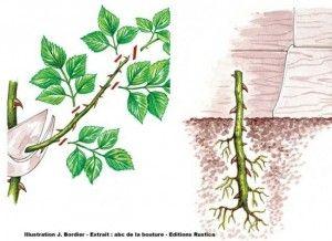 Les processus de multiplication végétative permettent donc une multiplication beaucoup plus rapide des végétaux
