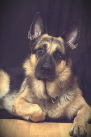 German Shepherds can be so soulful.