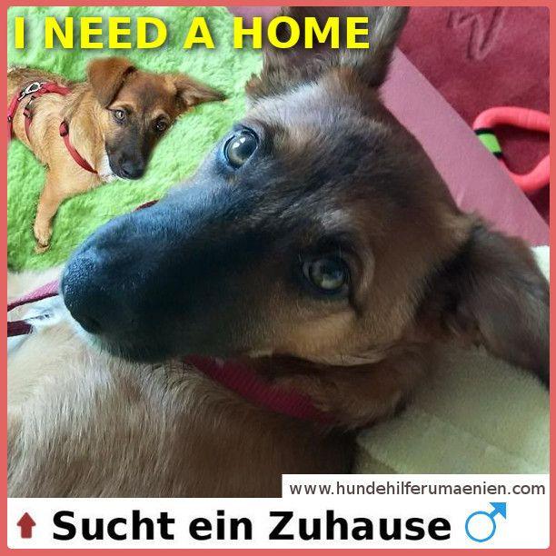 Dominic sucht ein Zuhause ⭐ ⭐  #Animalsnewlife #cutenessoverload #instagoods #chill #zuhausegesucht #suchezuhause #Rescue #RescueDog #Adopt #Adoption #PetAdoption #DogAdoption #RescueAnimal #animalrescue #needhome #streetdogs #hundevermittlung #dogsofinstgram #instagrampuppies #dogs #doglovers #tierschutzhund #hundeliebe ⭐ https://hundehilferumaenien.com/dominic/