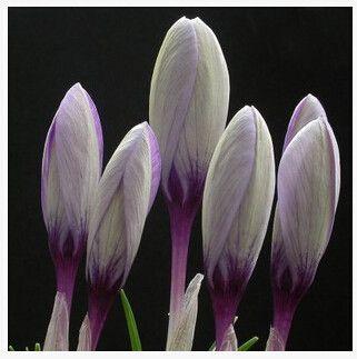 Saffron Flower Seeds, Saffron Crocus Seeds, 20 Seeds Multiple Colors to choose