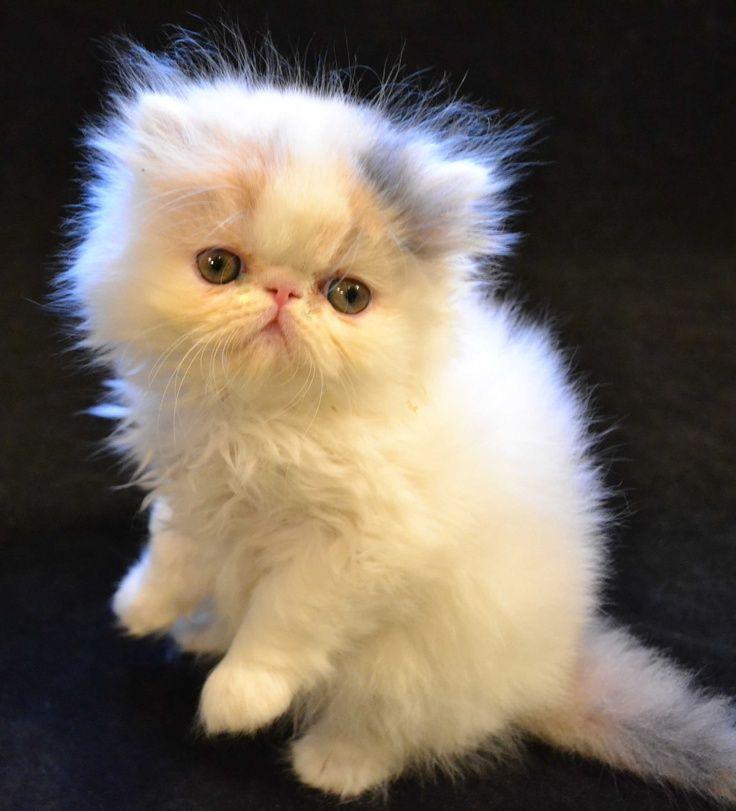 картинки маленький персидский котенок чаще всего развиваются