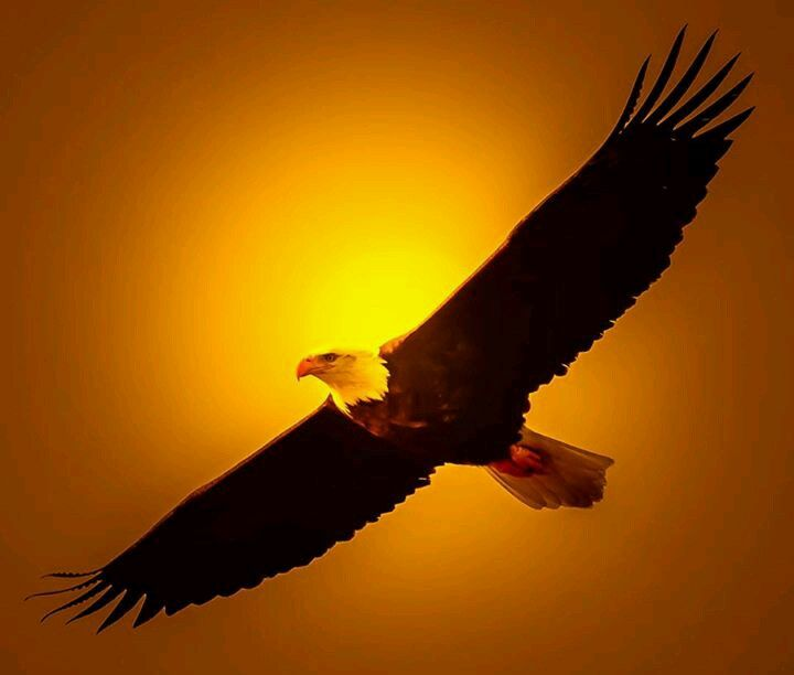 Good Morning America Eagles : Best images about bald eagles i love on pinterest