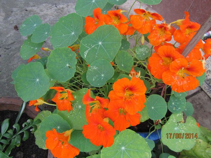 17 best images about nasturtiums kapuzinerkresse on. Black Bedroom Furniture Sets. Home Design Ideas