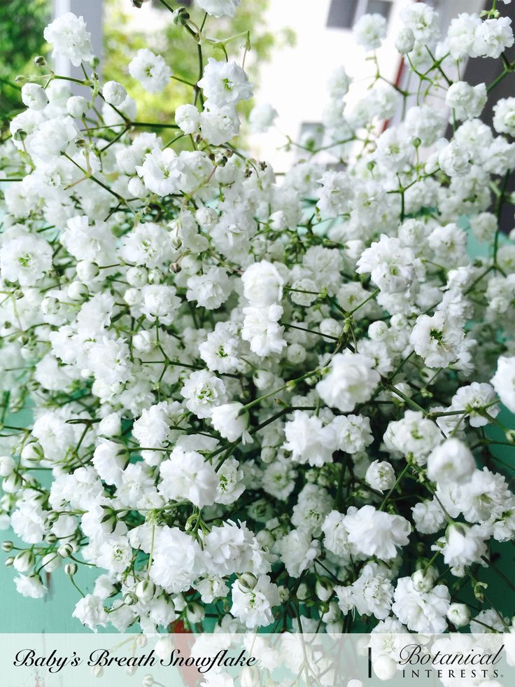It can snow every summer when you grow Baby's Breath Snowflake! Imagine the joy of having an abundance of lighter-than-air, petite, white, double blossoms for fresh and dried flower arrangements on hand. Read more: https://www.botanicalinterests.com/product/baby-s-breath-snowflake-seed/