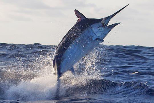 700lb black marlin on board Diversion during the 2011 Cairns Giant Black Marlin Season #blackmarlinblog #cairns #biggamefishing #greatbarrierreef #diversion