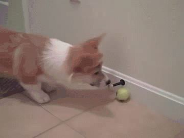 Corgi discovers new toy.