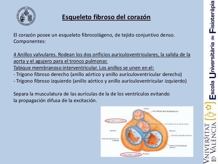 Es el soporte en el que se insertan el miocardio y las válvulas, fijándose, así, las cuatro cavidades. Es de tejido conectivo fibroso denso y conforma dos trígonos y cuatro anillos. El cuerpo fibroso central o trígono fibroso derecho, situado en el centro del corazón, une la parte interna de la mitral, la tricúspide y la raíz de la aorta.