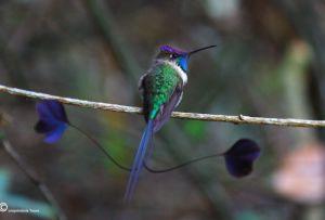 Visite Huembo, la reserva del colibrí en el Amazonas.  Hace 7 años se creó uno de los lugares acondicionados para aves residentes y migratorias: la Reserva Huembo en el valle del Utcubamba, en el departamento de Amazonas, donde se puede observar al colibrí maravilloso o cola de espátula.