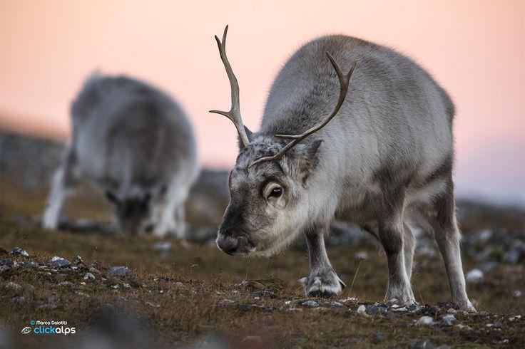 Svalbard reindeer by Marco Gaiotti on 500px