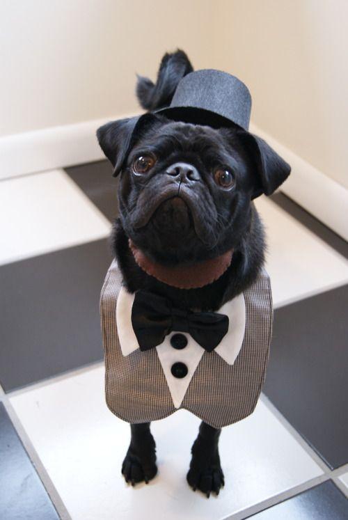 The 25+ best Pug halloween costumes ideas on Pinterest ...