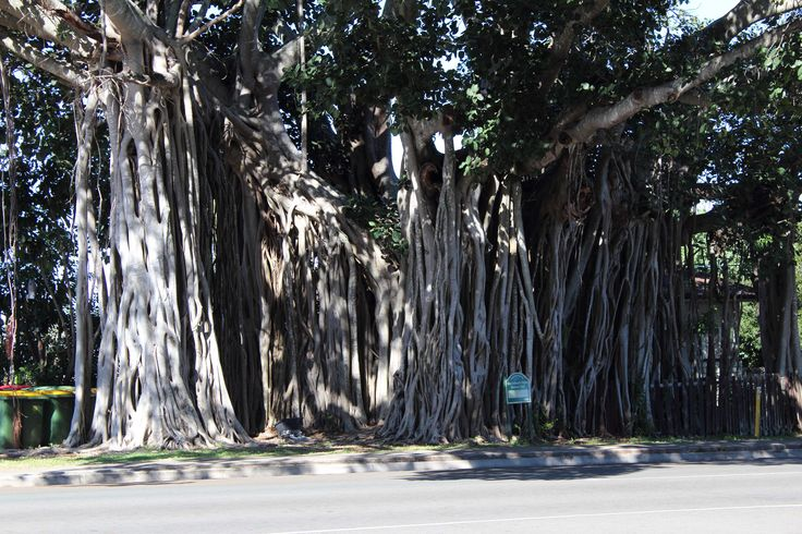 L1M1AP3- LINES, Canon 600d used, Auto, No Flash, ISO100 , Focal L 55 , Telephoto Lens used , F 6.3 , !/100 Sec,Hand held. This is a shot of QLD oldest Banyan Tree, as you can see these lines of tree roots are protruding downwards from the main tree trunks and have embedded themselves into the ground over many years. To describe these types of lines in a photographic language I don't know. Please can you give me an explanation.