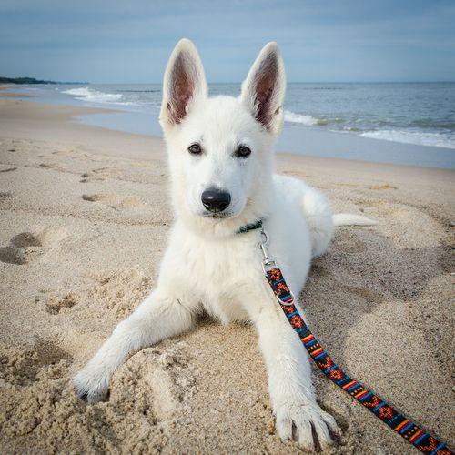 check the blog about swiss white shepherd Bela (Bela'sworld): http://swisswhiteshepherdbela.blogspot.com/