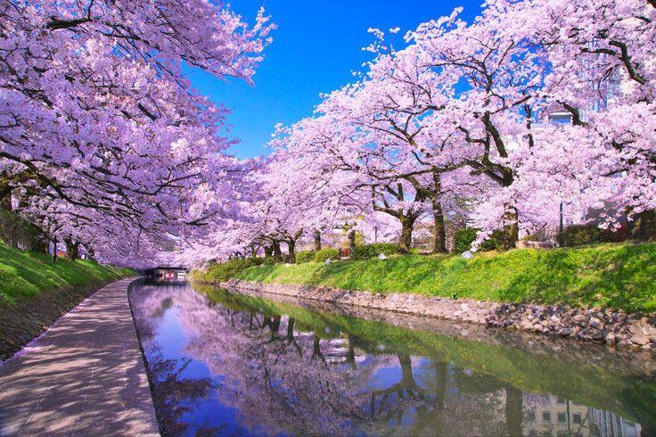 松川の桜(富山県富山市)