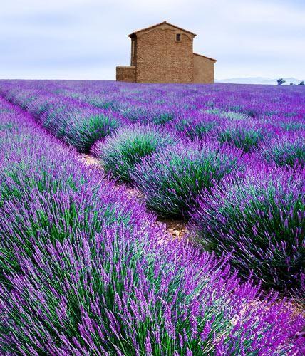 lavendel schneiden pflegen garten outdoor pinterest wachsender lavendel lavendel und. Black Bedroom Furniture Sets. Home Design Ideas