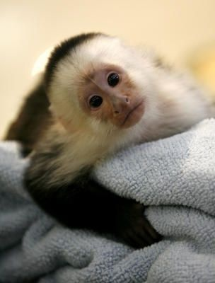 oh geez.. a capuchin.. my husband wants one of these (thanks, Hangover 2). He even researched how to get a permit.. but yet i can't get a Pomeranian...