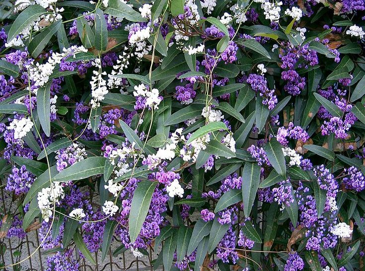 Climbers for trellis: Hardenbergia violacea (commonly known as purple coral pea, happy wanderer, native lilac etc). Vigorous evergreen climber growing to 6m or more. Pea-like flowers usually violet but can be white, pink or other colours. Leaves are dark green, hard and leathery.