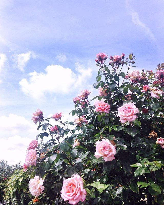 A little bit of sun for the weekend! These pretty roses are looking very sweet…