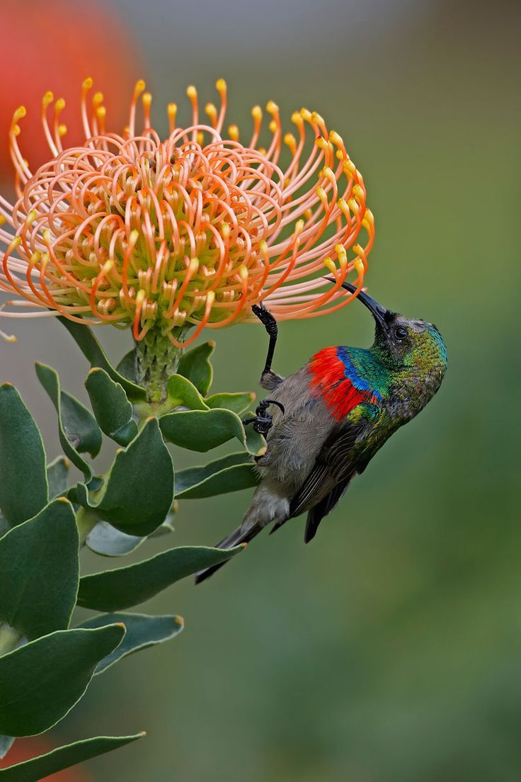 fynbos butterflies - Google'da Ara