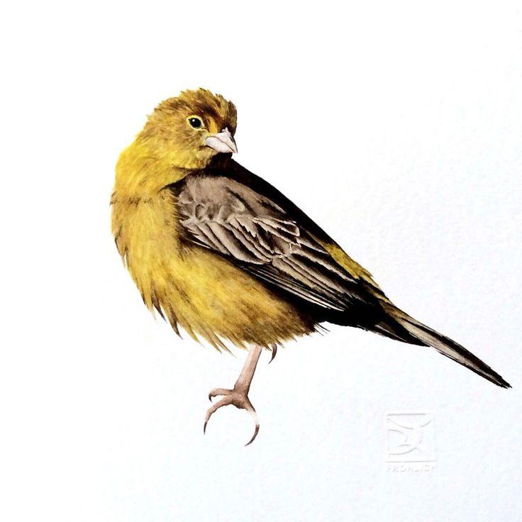 CHIRIHUE Chilean bird in watercolor Lorena Fröhlich Mohr #Chile