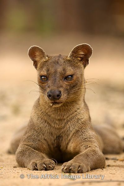 A Fossa - like a cat, dog and a bear rolled into one!