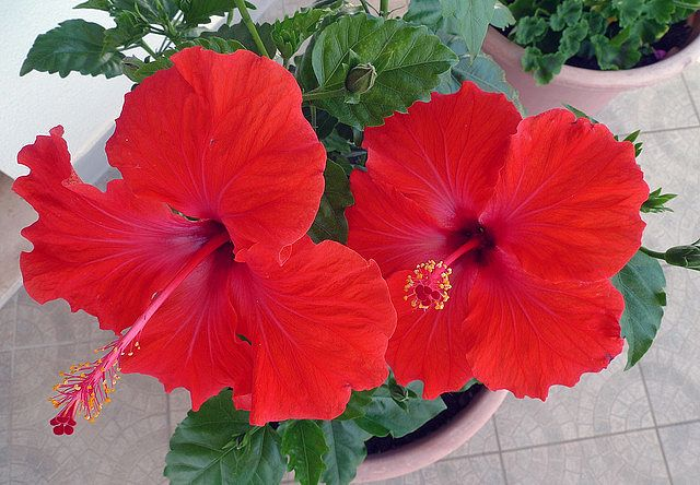 Tips on Hibiscus Care - EnkiVillage
