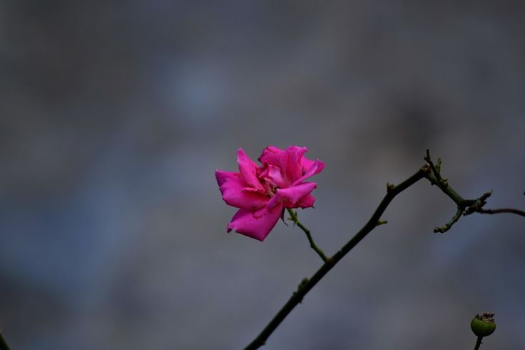 Rose by Renie A. Priyanto - Flowers Single Flower ( rose, pink roses, roses, rose garden, flowers )
