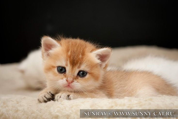Кошка Barbara SunRay британская короткошерстная