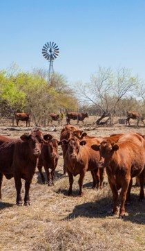 Special Interest Tours - King Ranch. Pictured are some of the ranch's famed Santa Gertrudis cattle.