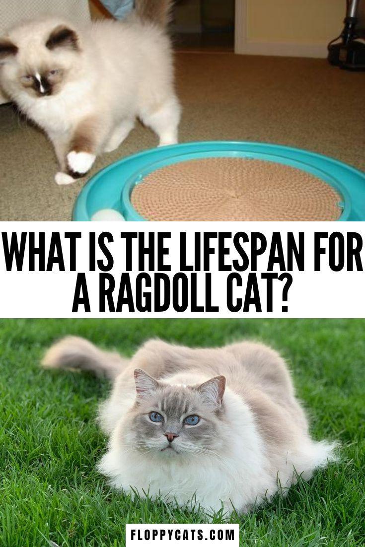 Lifespan of a Ragdoll Cat How Long Do Ragoll Cats Live