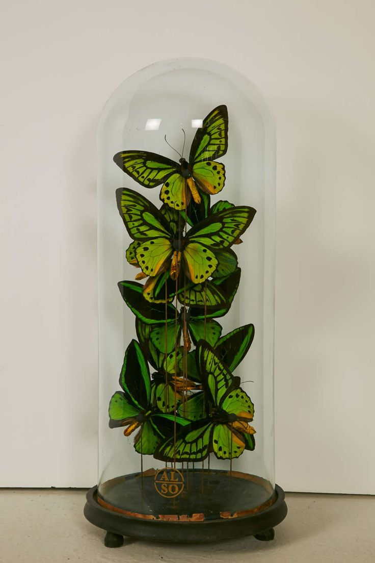 Collection of Ornithoptera Priamus Butterflies under XIXth Century Glass Dome