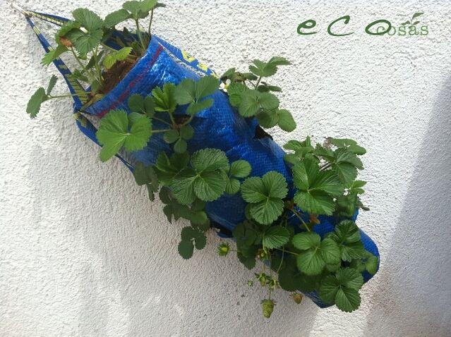 ecocosas IMG 1010 Como cultivar fresas en una bolsa de rafia