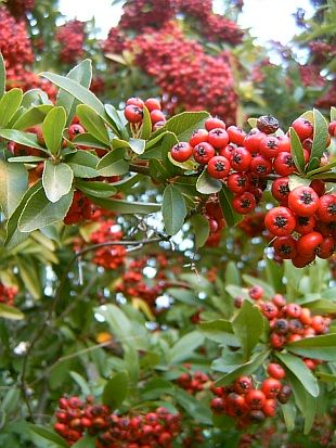 Pyracantha coccinea (Pyracantha, Firethorn) - The species of pyracantha with the most cultivars that can be grown up through zone 5.  Most grow between 6-10' tall, and all are evergreen, produce white flowers in summer followed by bright orange-red berries that persist through winter.