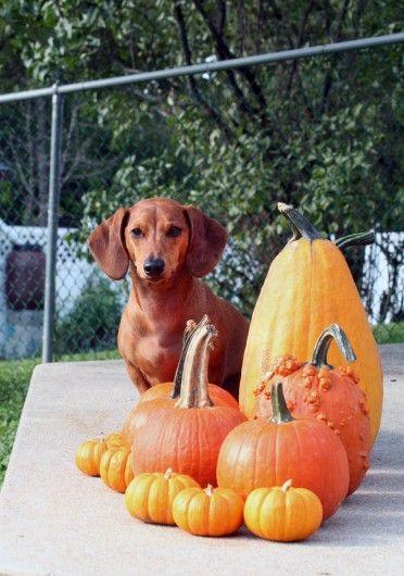 Fall festive Ammo the dachshund with pumpkins