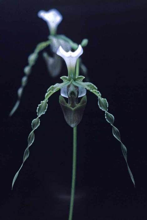 swirly orchids