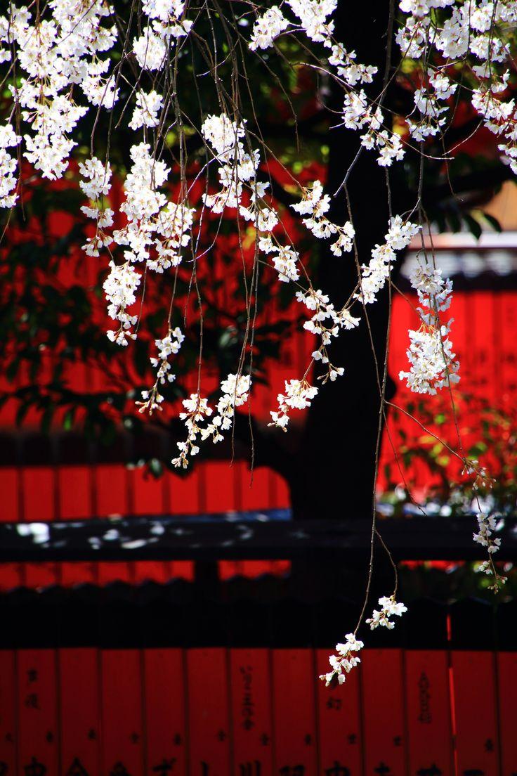 京都車折神社の満開の優美な渓仙桜(けいせんざくら)