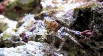Los cangrejos pompón son los anima dores del mundo acuático pero en  realidad utilizan sus pompones para defenderse de sus atacantes.