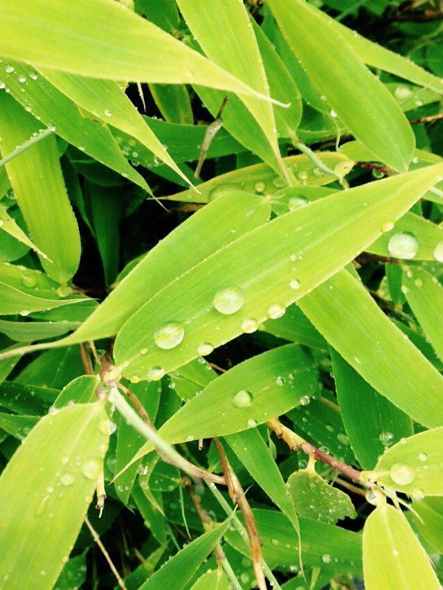 Bambu en regnig dag